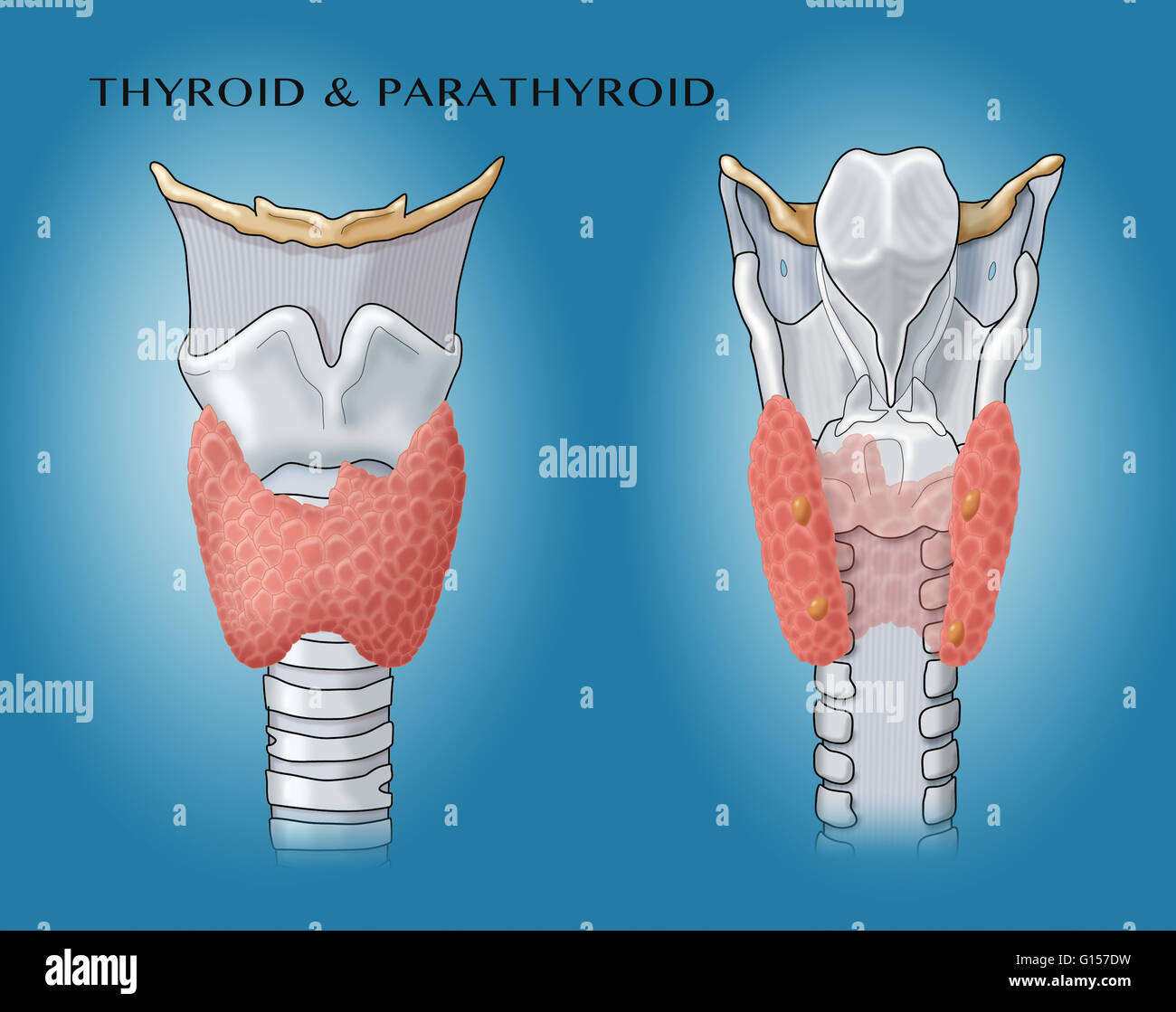 Anatomical Illustration Of The Thyroid And Parathyroid Glands Stock