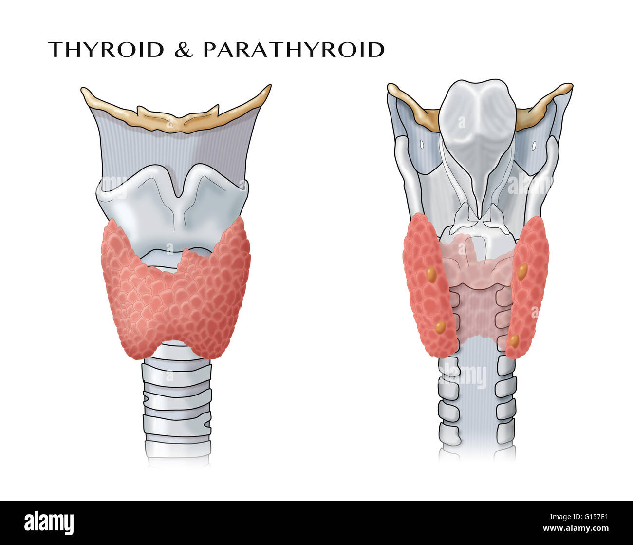 Anatomical Illustration Of The Thyroid And Parathyroid Glands