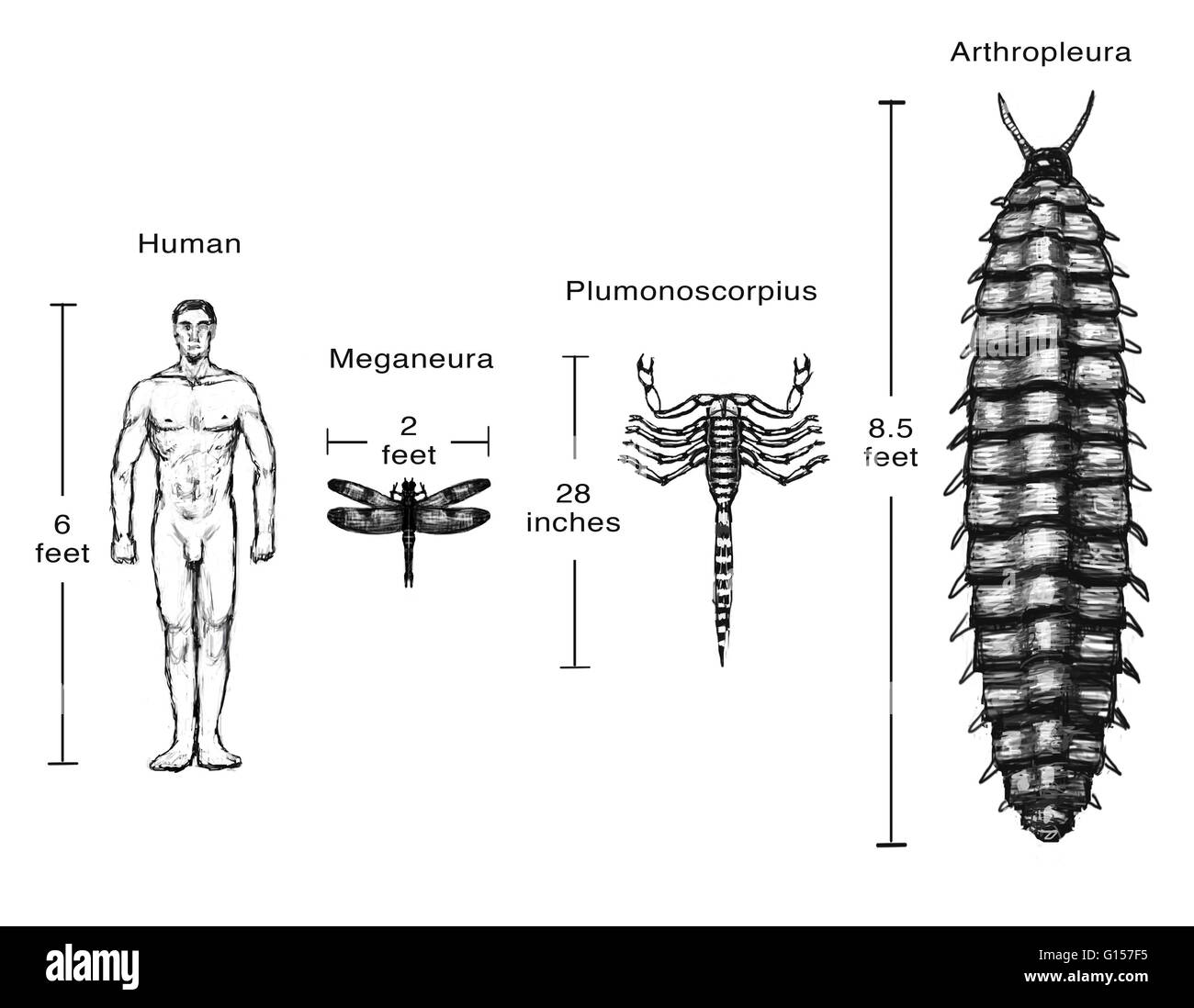 Illustration comparing the size of some animals from the Carboniferous period to the average size of a human man. Stock Photo