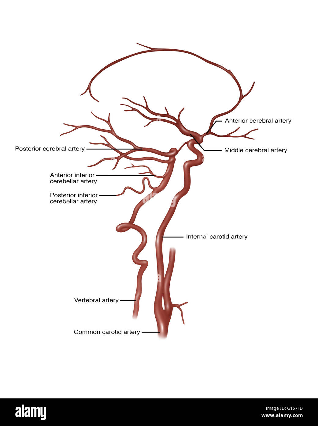 Illustration showing arteries in the head. Noted at right are anterior cerebral artery, middle cerebral artery, - Stock Image