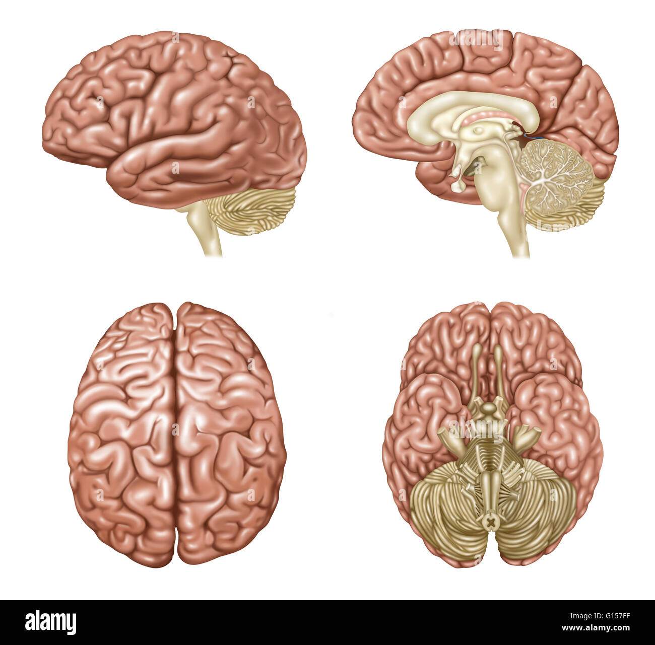 Illustration showing anatomy of a normal brain in lateral ...