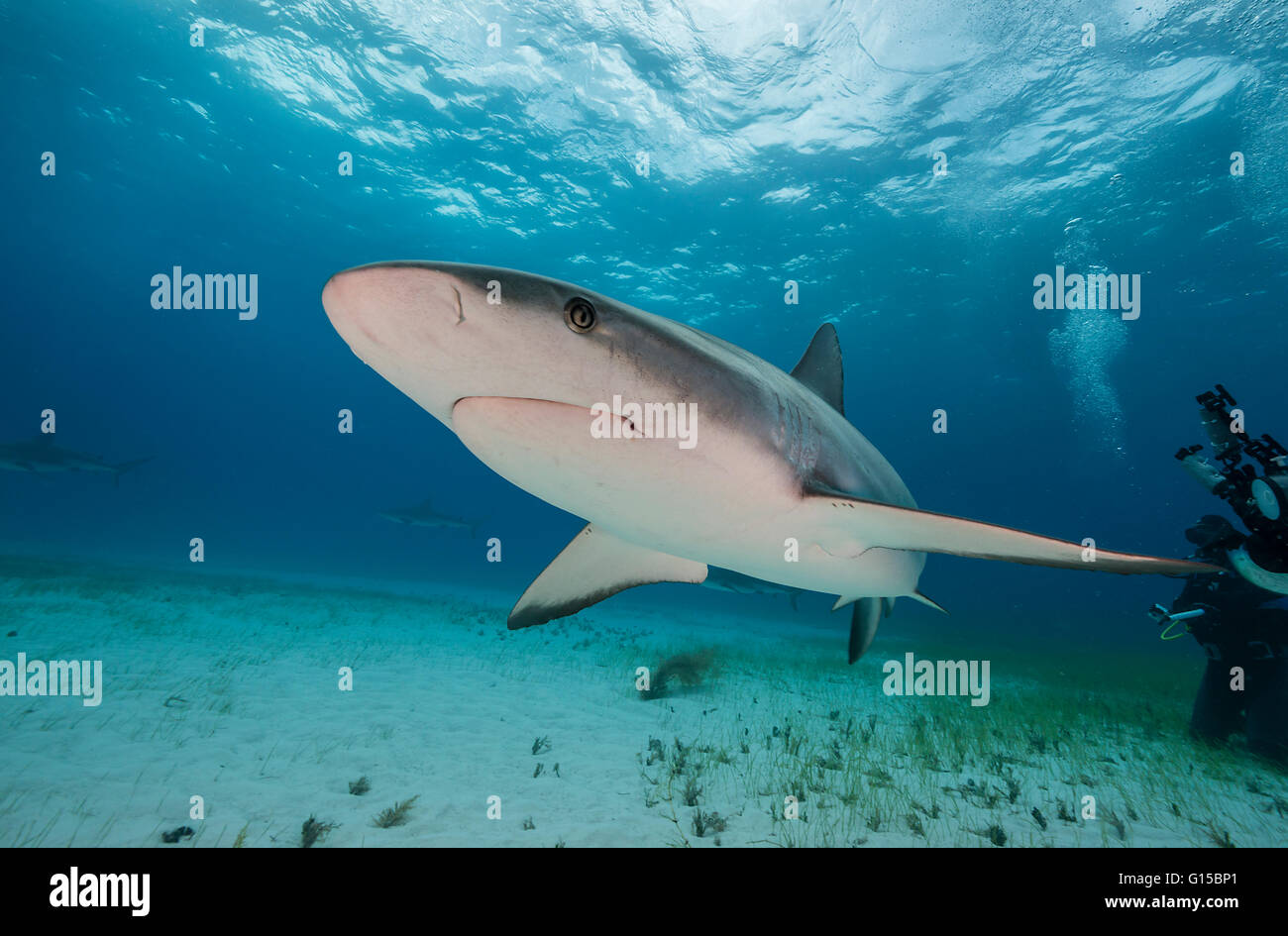 Caribbean reef shark, carcharhinus perezii, underwater in the Bahamas, Caribbean . Stock Photo