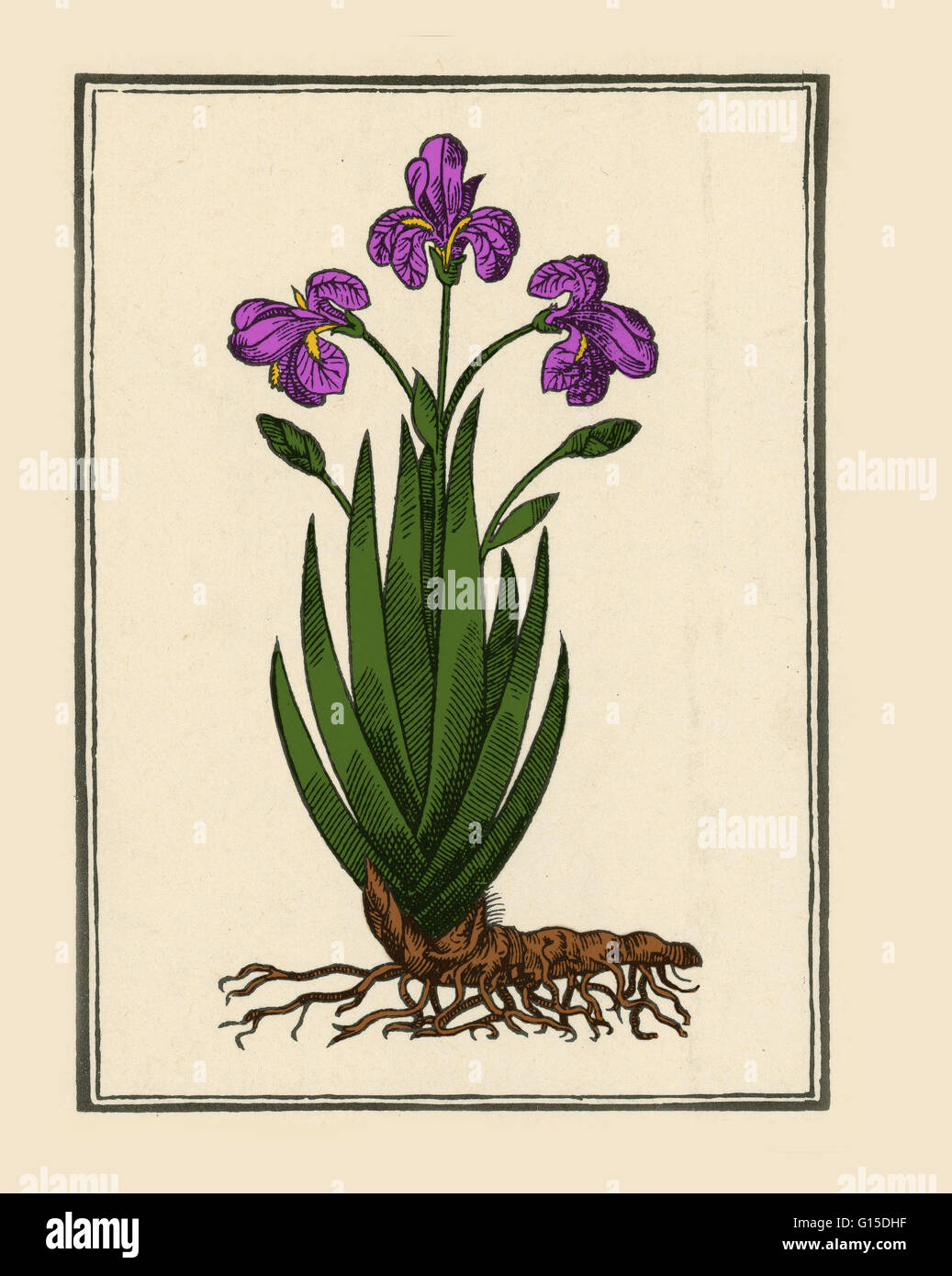 The iris (iris florentina), native to the Mediterranean region and southern Europe, was considered by the ancient - Stock Image