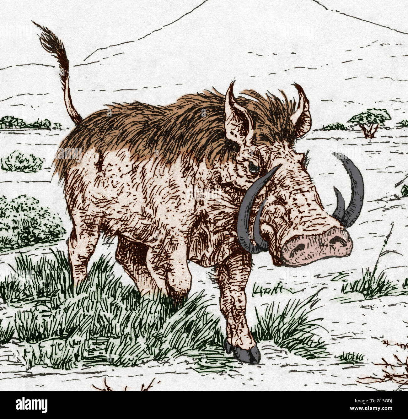 Illustration of the extinct genus notochoerus from the suidae (pig) family. - Stock Image