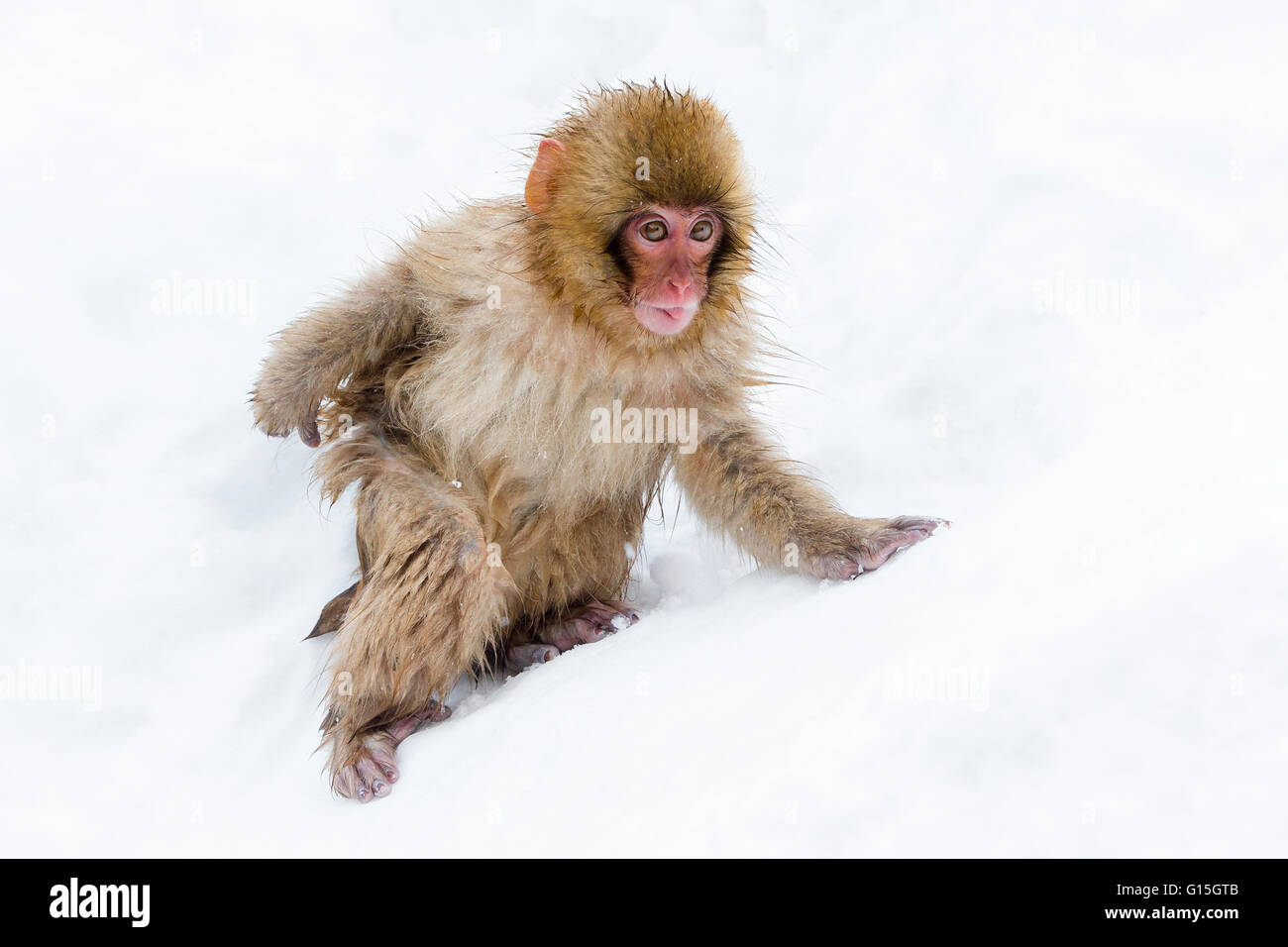 Japanese macaque (Snow monkey) (Macata fuscata), in the snow, Jigokudani Yaen-Koen, Nagano Prefecture, Japan, Asia Stock Photo