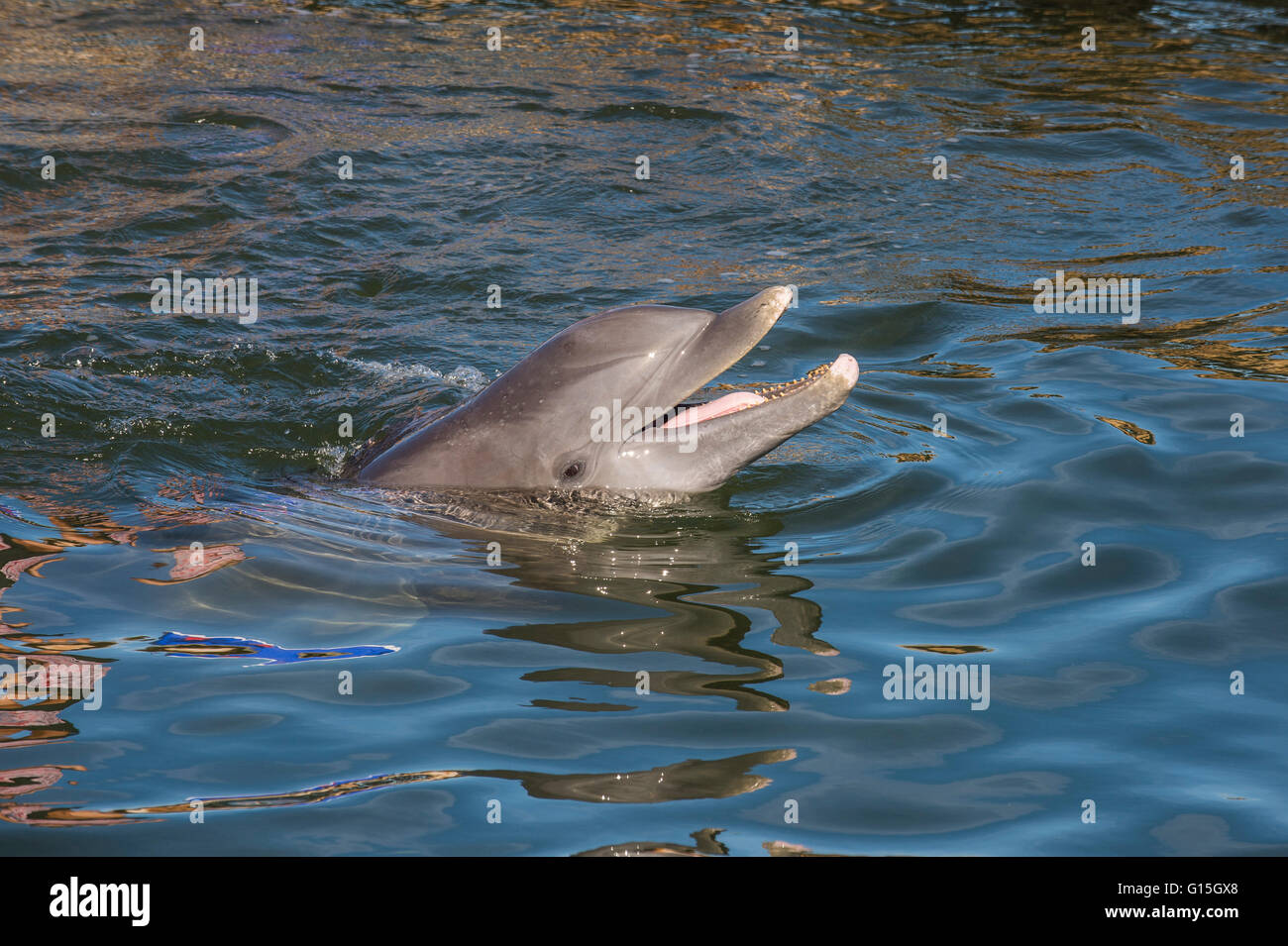 Bottlenose Dolphin, Tursiops tursiops, Grassy Key, Florida, United States of America, North America - Stock Image