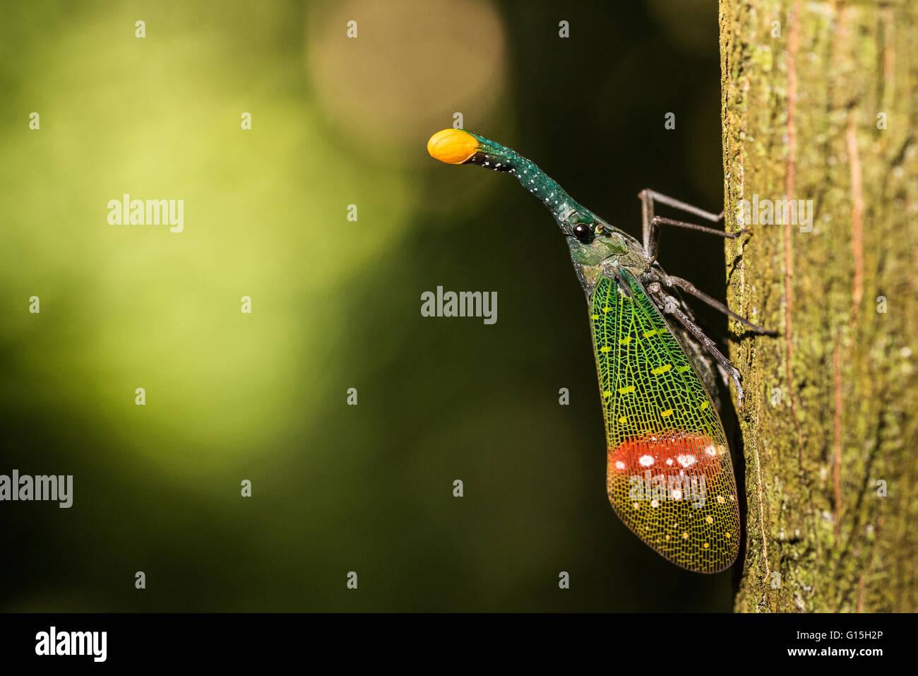 Orange-tip lantern fly (Pyrops intricata), Indonesia, Southeast Asia - Stock Image