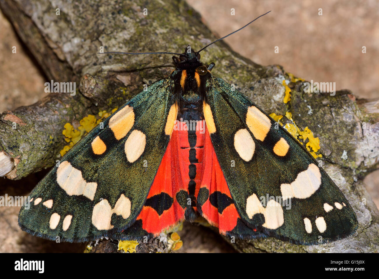Scarlet tiger moth (Callimorpha dominula) with wings open and red hindwings. Brightly colored insect in the family - Stock Image