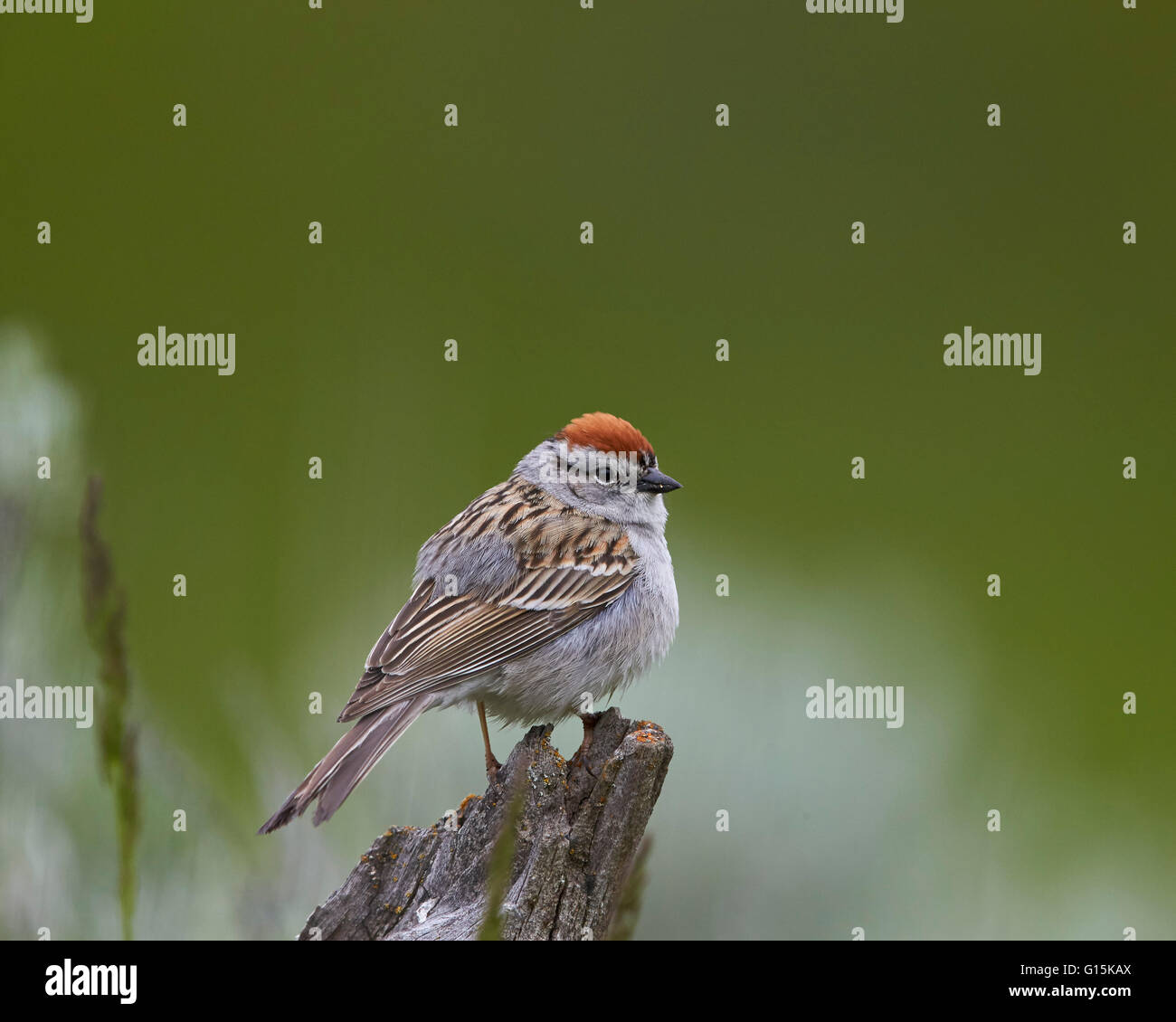American Tree Sparrow (Spizella arborea), Yellowstone National Park, Wyoming, United States of America, North America - Stock Image