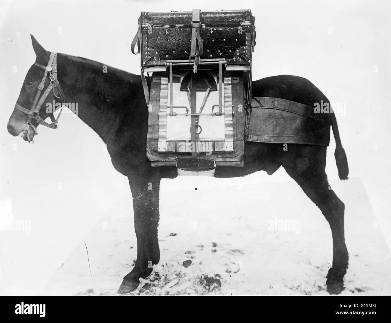 Pack horse used by U.S. Army Signal Corps, carrying chest of instruments for local outfit for wireless telegraph. - Stock Image