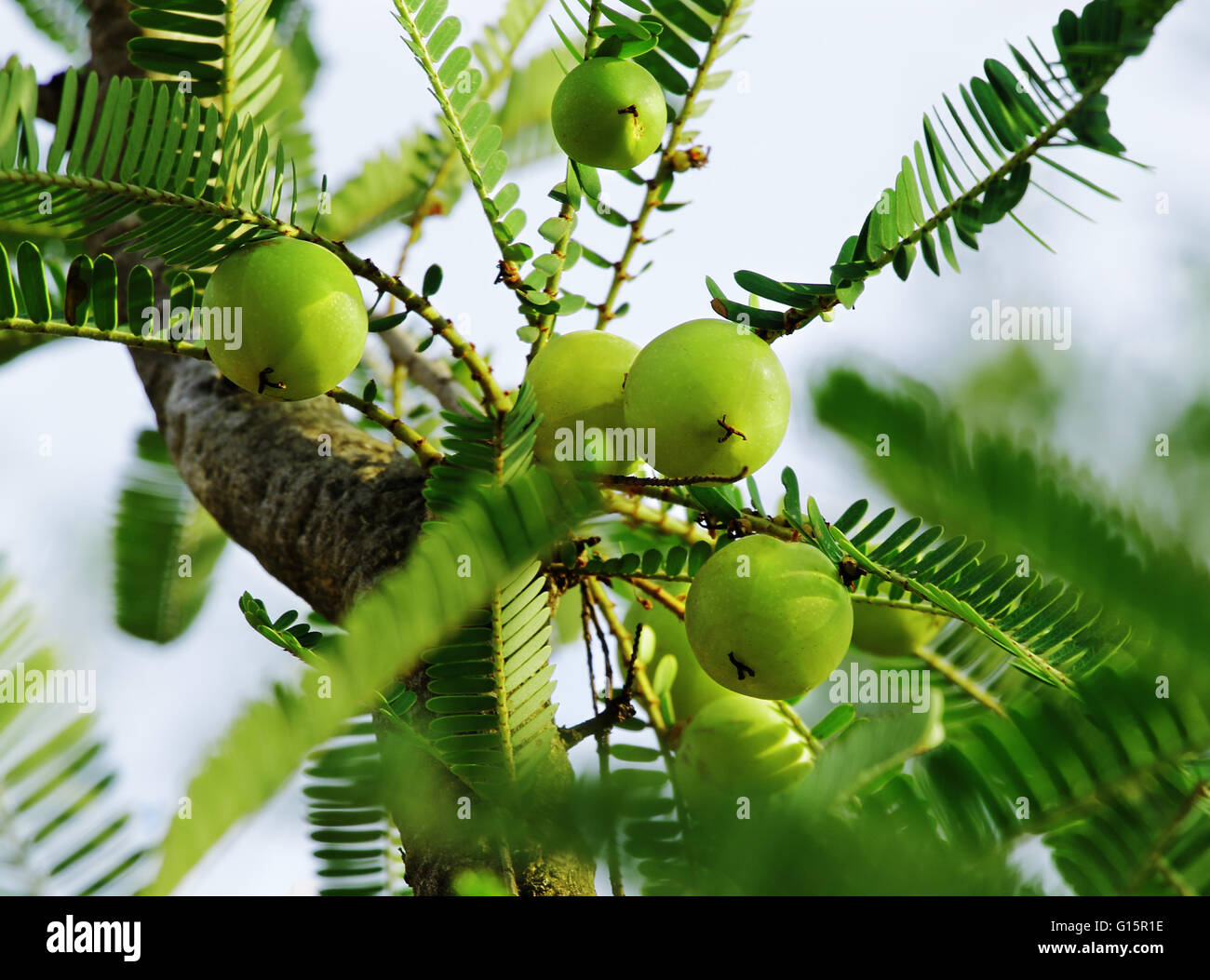 Indian gooseberry, Phyllanthus emblica, in tree. An essential ingredient of Indian Ayurvedic (herbal) medicines. - Stock Image