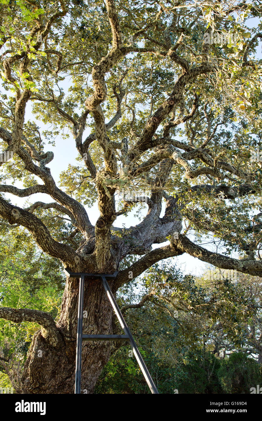 Iron frame supporting Ancient Southern Live Oak tree. - Stock Image