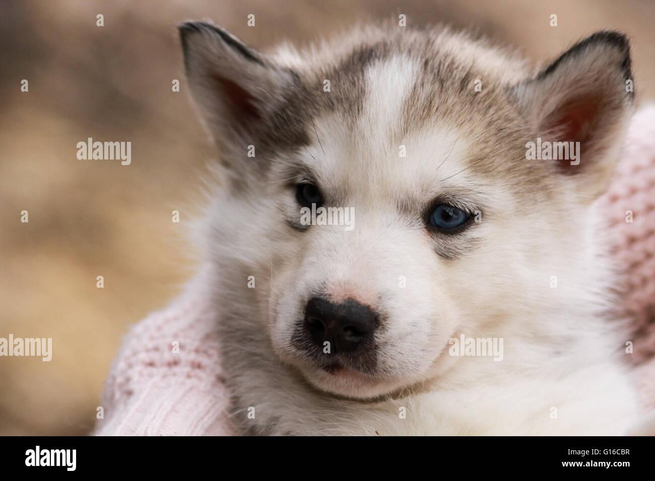 A Baby Siberian Husky Pup Stock Photo Alamy