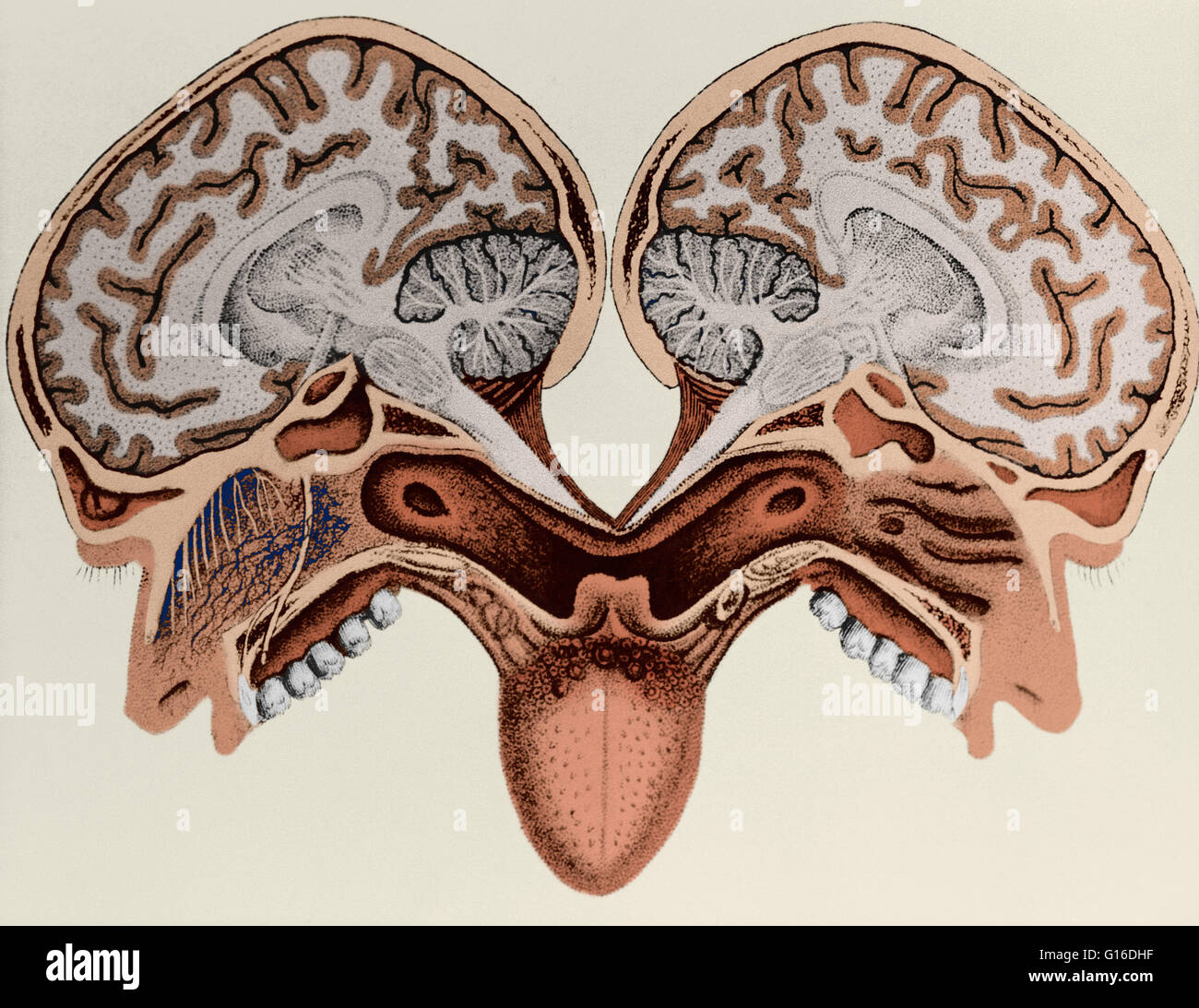 Illustration Of A Human Head In Cross Section By Paolo Masscagni
