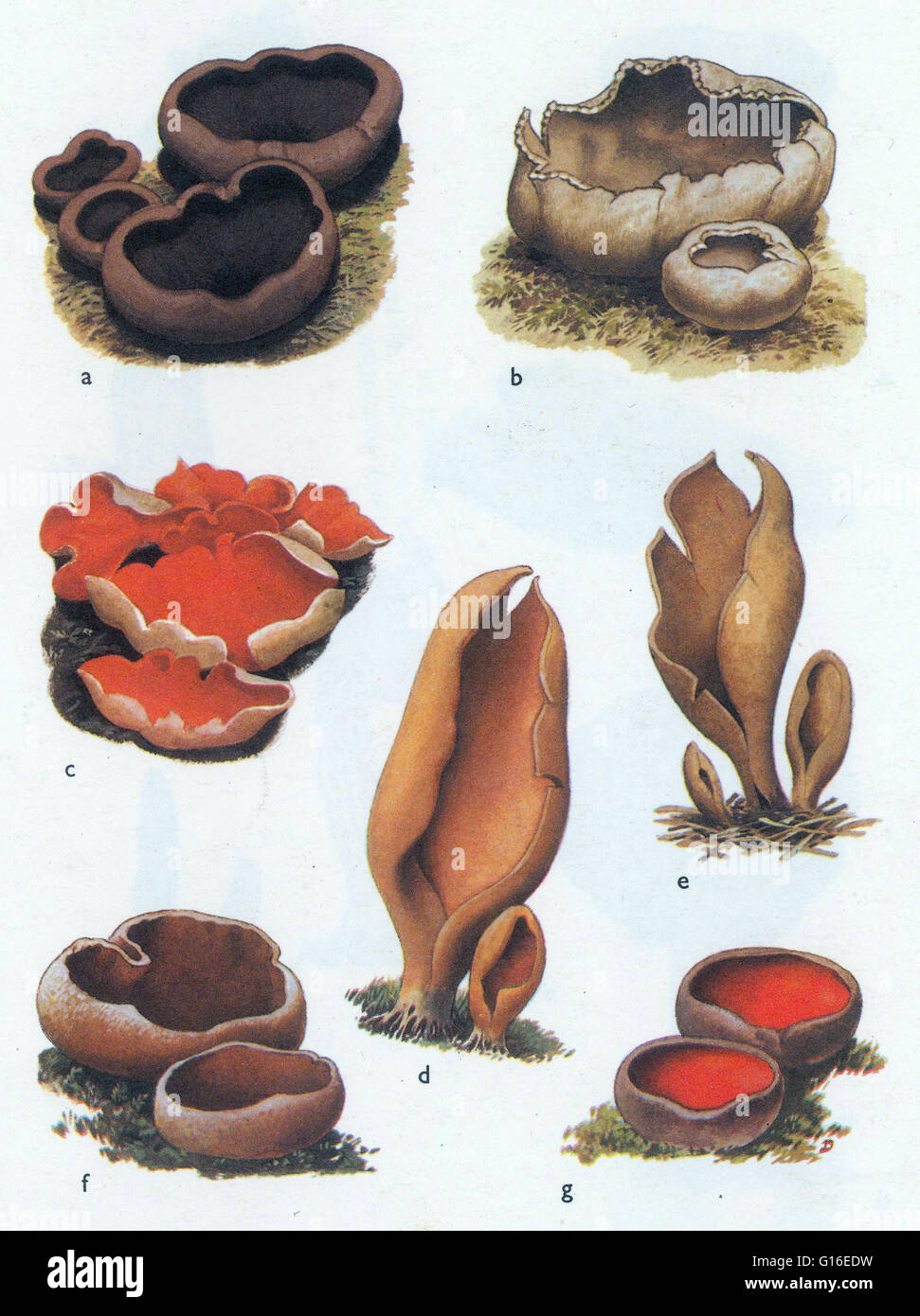 Fungi Peziza. Peziza is a large genus of saprophytic cup fungi that grow on the ground, rotting wood, or dung. Most - Stock Image