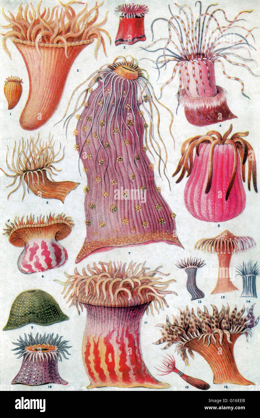 American And European Anemones Sea Anemones Are A Group Of Stock