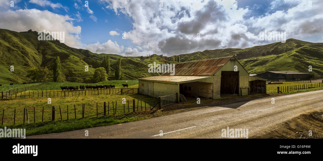 Barn with cows, sorrounded by hills, along the Forgotten World Highway 43 - Stock Image
