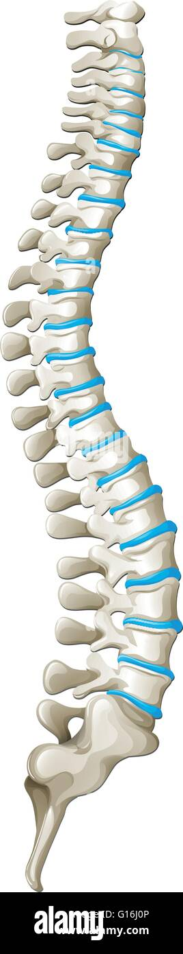 Spine Diagram Showing Back Pain Stock Photos Spine Diagram Showing
