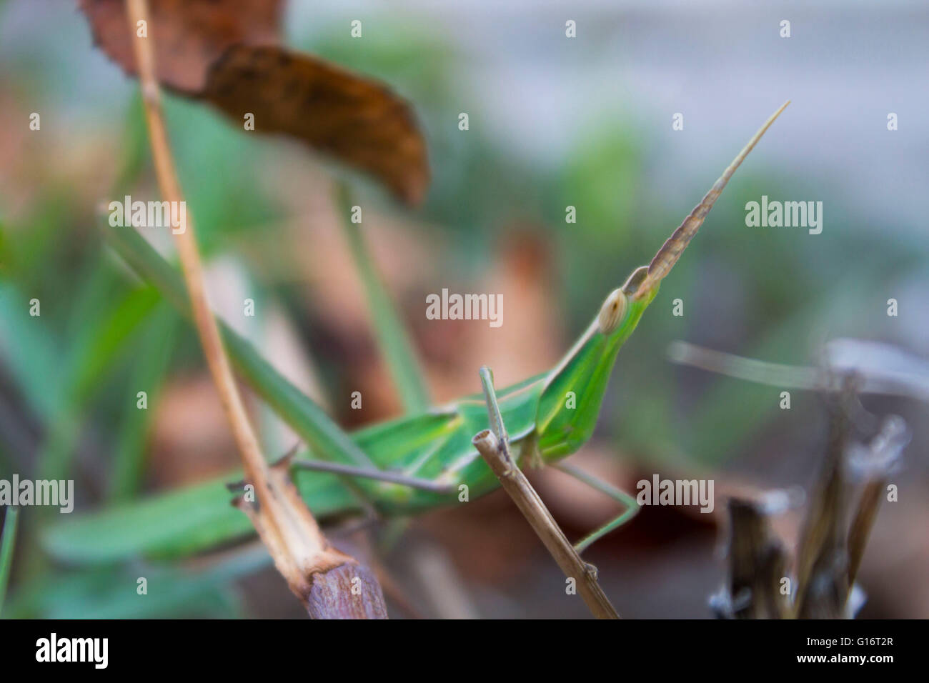 cricket that blends in with the environment on a leaf - Stock Image