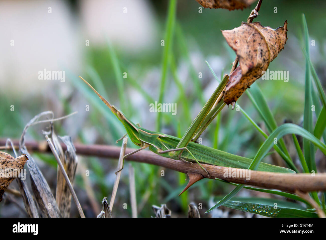 cricket that blends in with the environment - Stock Image
