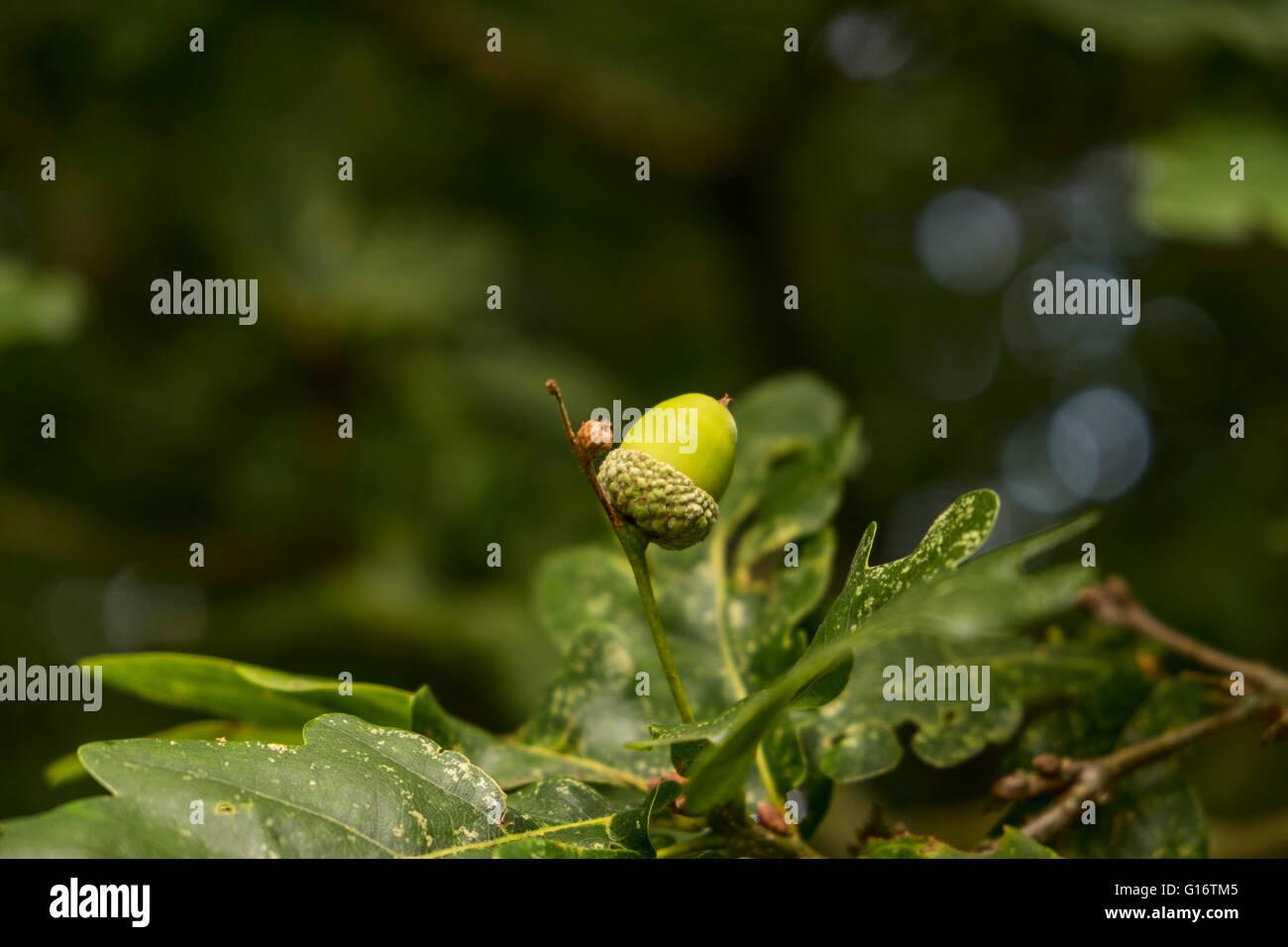 Small Acorns Stock Photos & Small Acorns Stock Images - Alamy