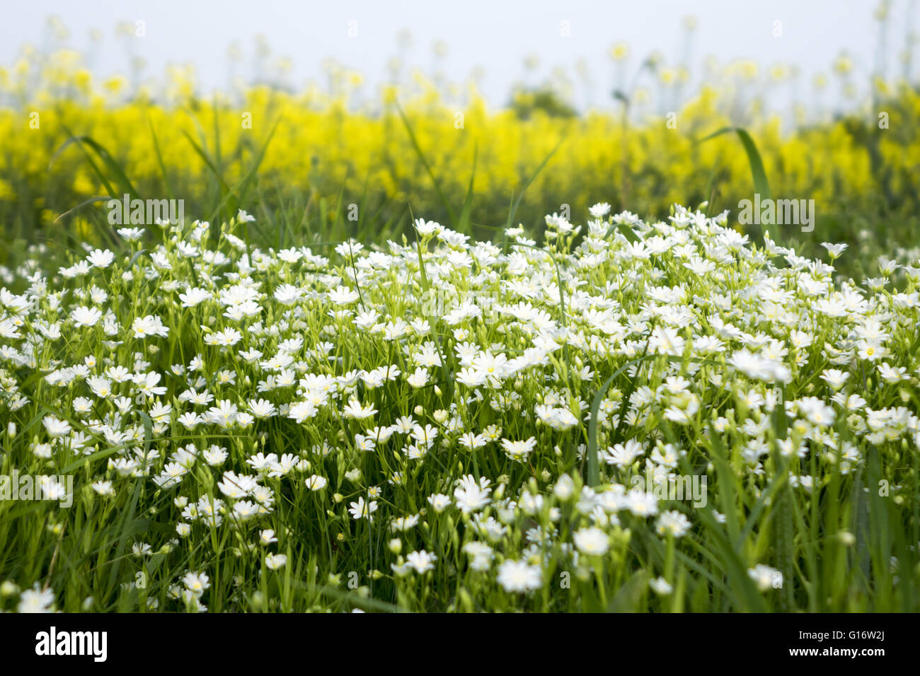Chamomile camomile  Asteraceae flowers - Stock Image
