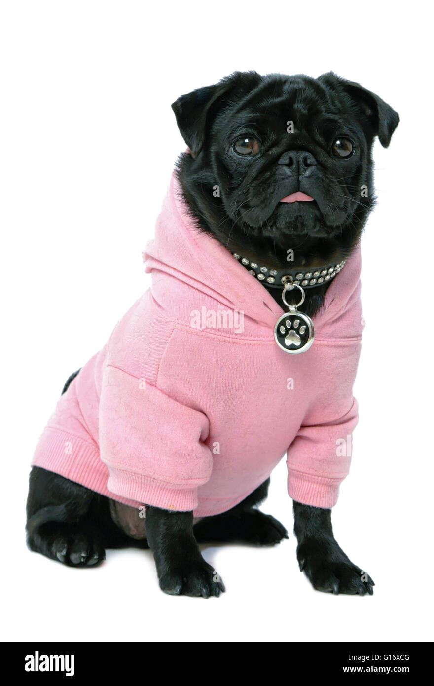 Small black pug puppy dog in pink clothes isolated on white background  Model Release: No.  Property Release: Yes - Stock Image