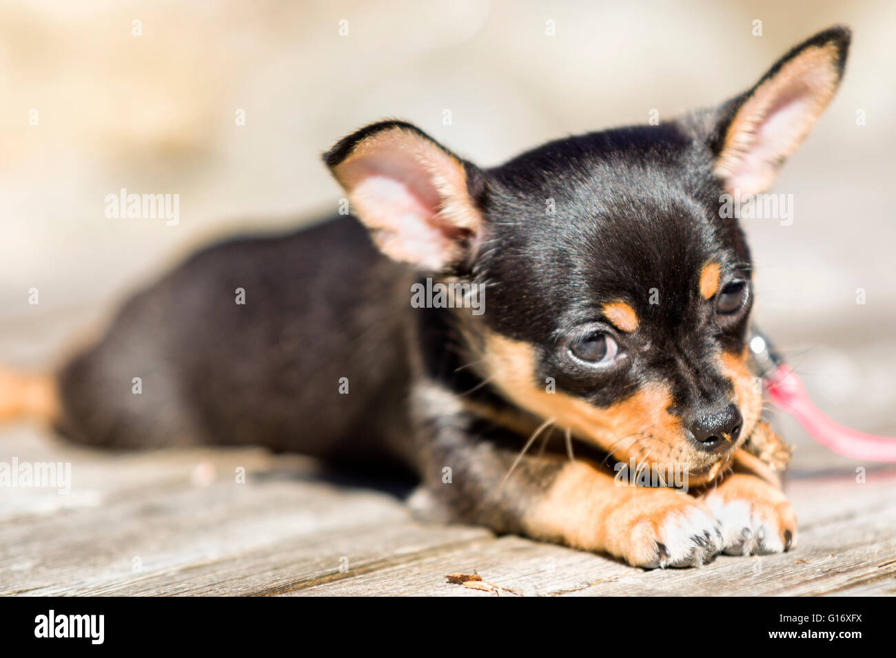 black and brown chihuahua puppies black and tan chihuahua stock photos black and tan 5522