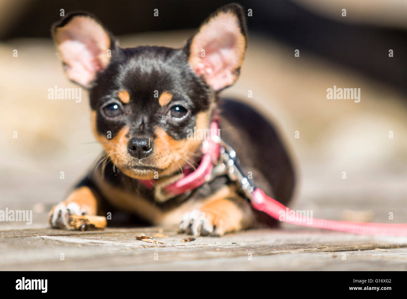Female black and tan Chihuahua puppy dog outdoors enjoying warm weather  Model Release: No.  Property Release: Yes - Stock Image