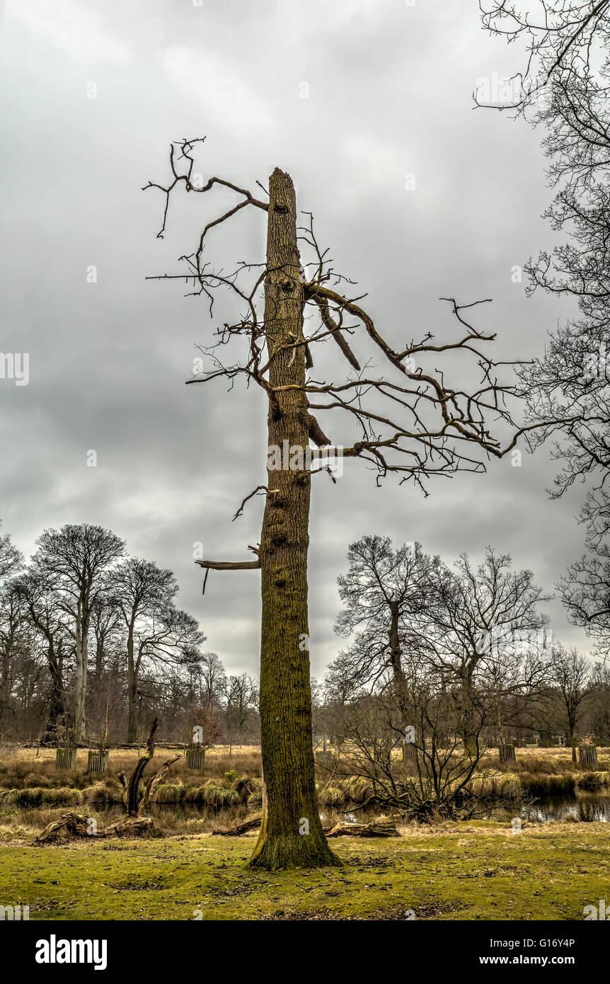A dead tree in Dunham Massey garden. - Stock Image