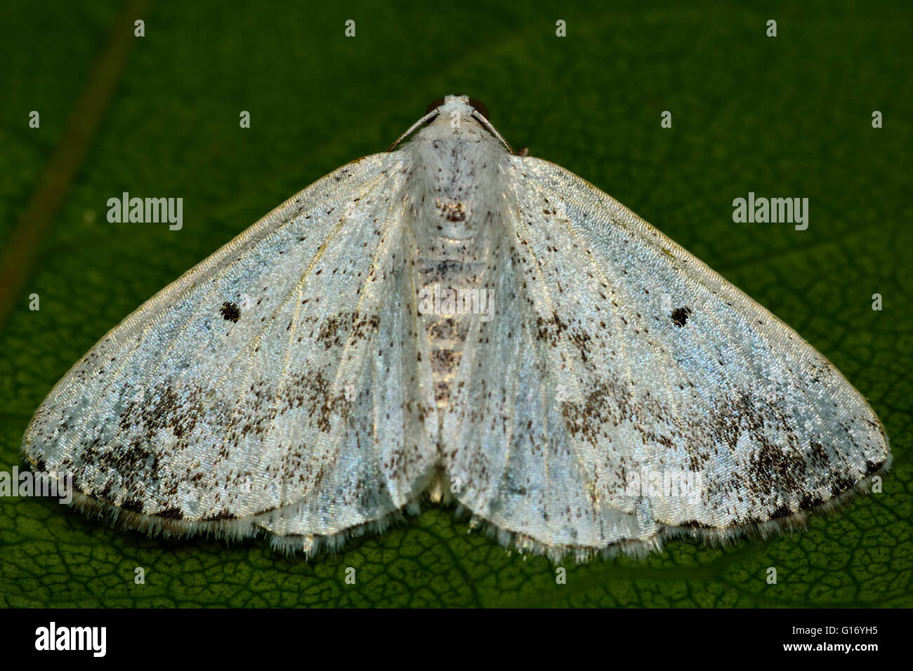 Clouded silver moth (Lomographa temerata) from above. British insect in the family Geometridae, the geometer moths - Stock Image