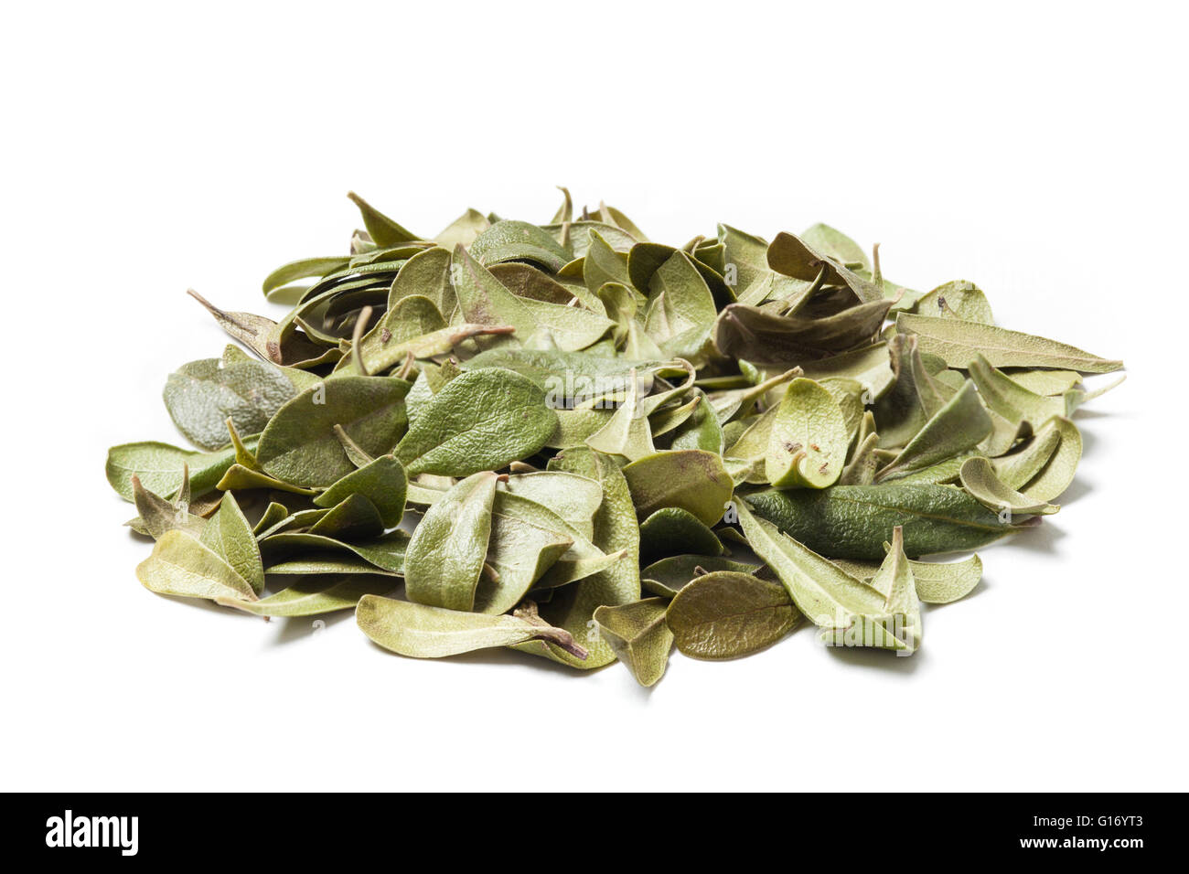 Bearberry leaves isolated on white background. Bearberry (Arctostaphylos uva-ursi) is a type of plant of the genus - Stock Image