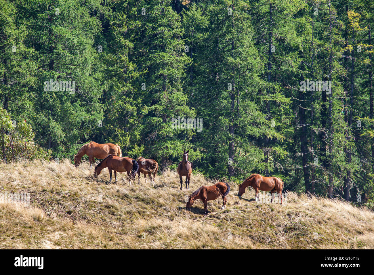 Several free brown horses grazing on a high mountain pasture. Stock Photo