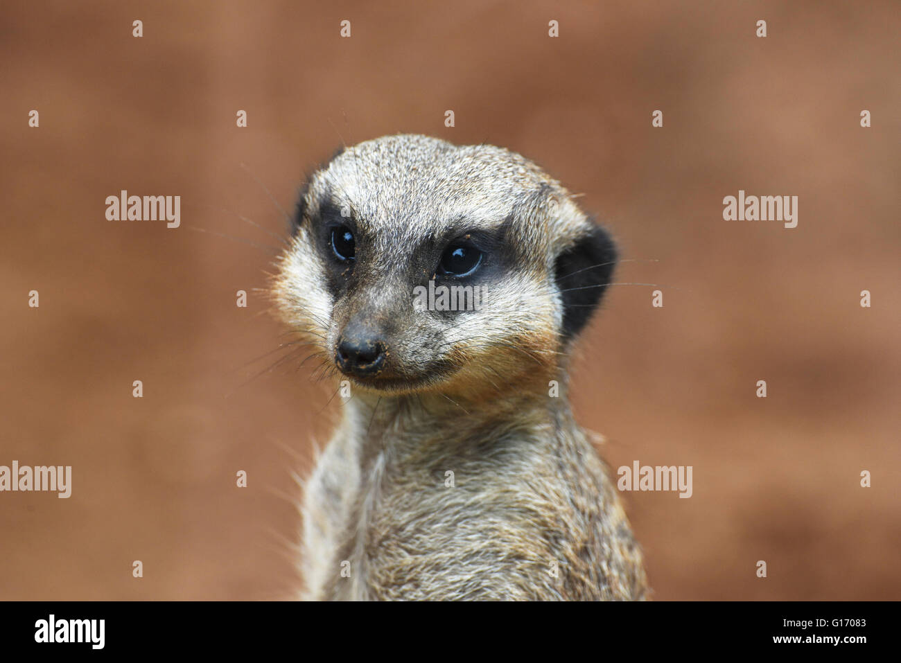 Close-up of the meerkat - Stock Image