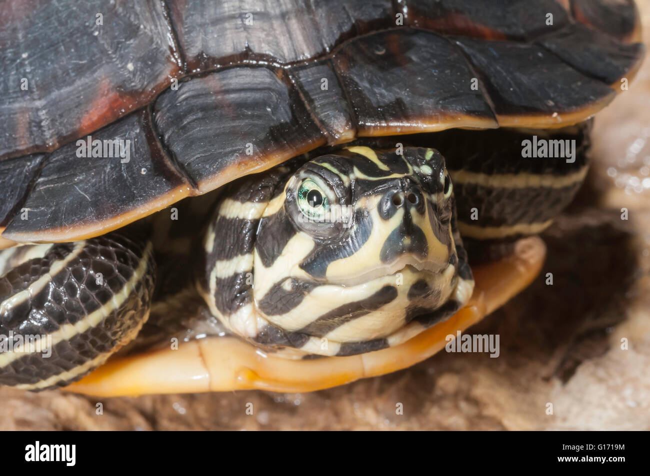 Florida red-bellied cooter/turtle, Pseudemys nelsoni, native from Georgia to Florida Stock Photo