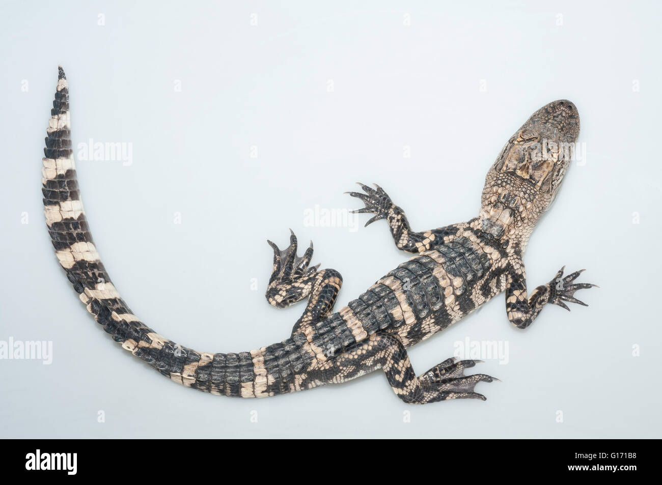 American alligator, Alligator mississippiensis, two years old; cutout with white background Stock Photo