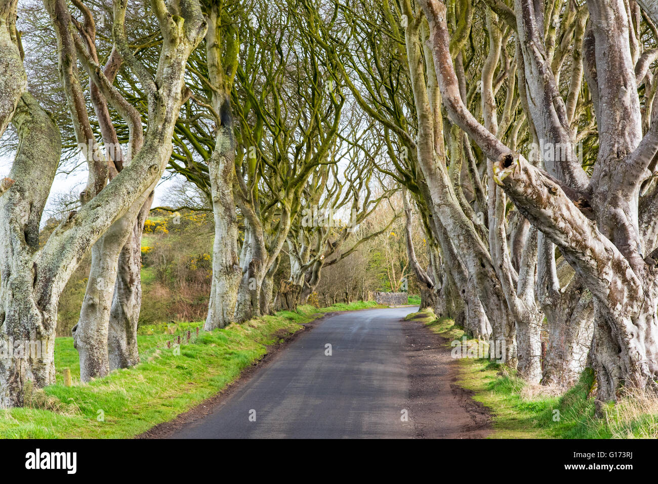The Dark Hedges near Ballymoney, Co. Antrim, Northern Ireland.  Feautured in the Game of Thrones as the Kings Road. - Stock Image