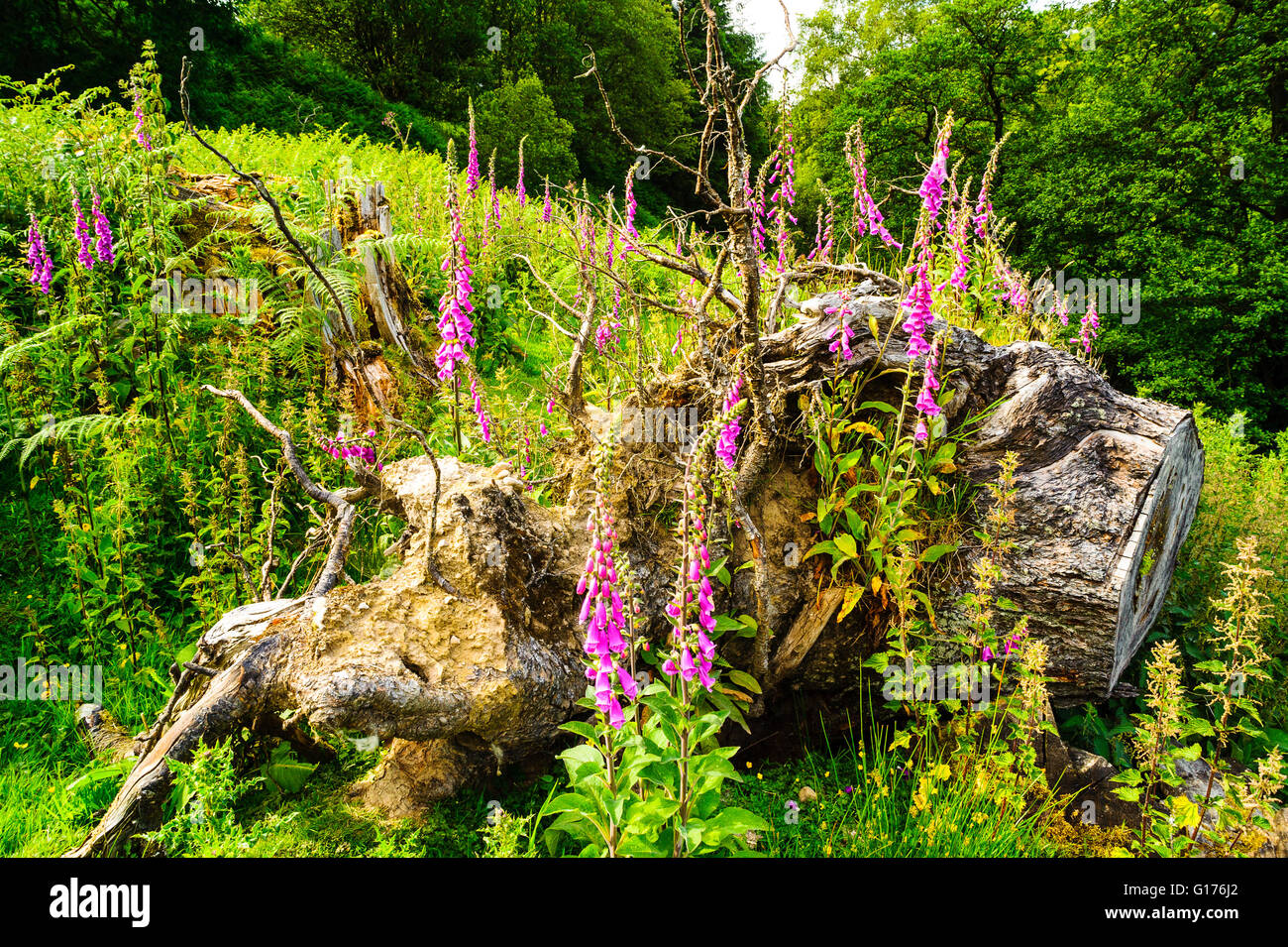 Foxgloves and tree-stump in Roeburndale in the Forest of Bowland Lancashire England - Stock Image