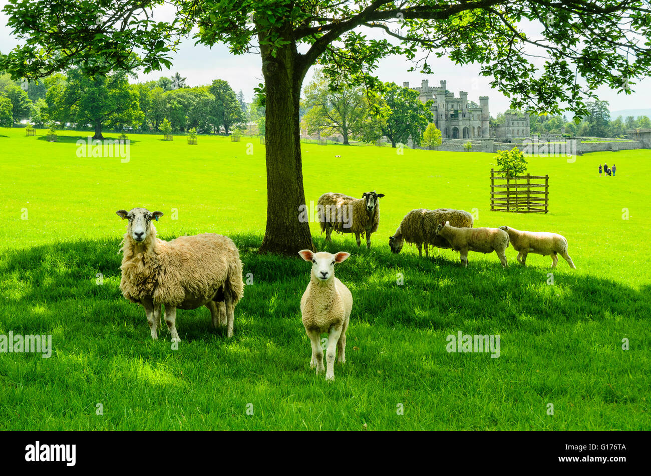 Sheep graze near the ruins of Lowther Castle in the Lake District Cumbria - Stock Image