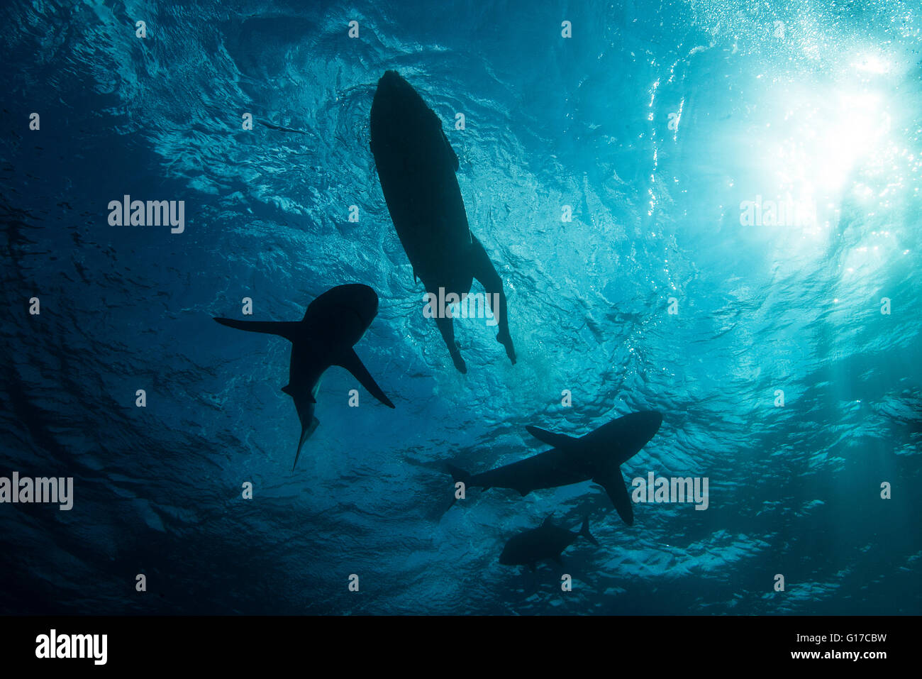 Low angle underwater view of surfer on surfboard with sharks, Colima, Mexico - Stock Image