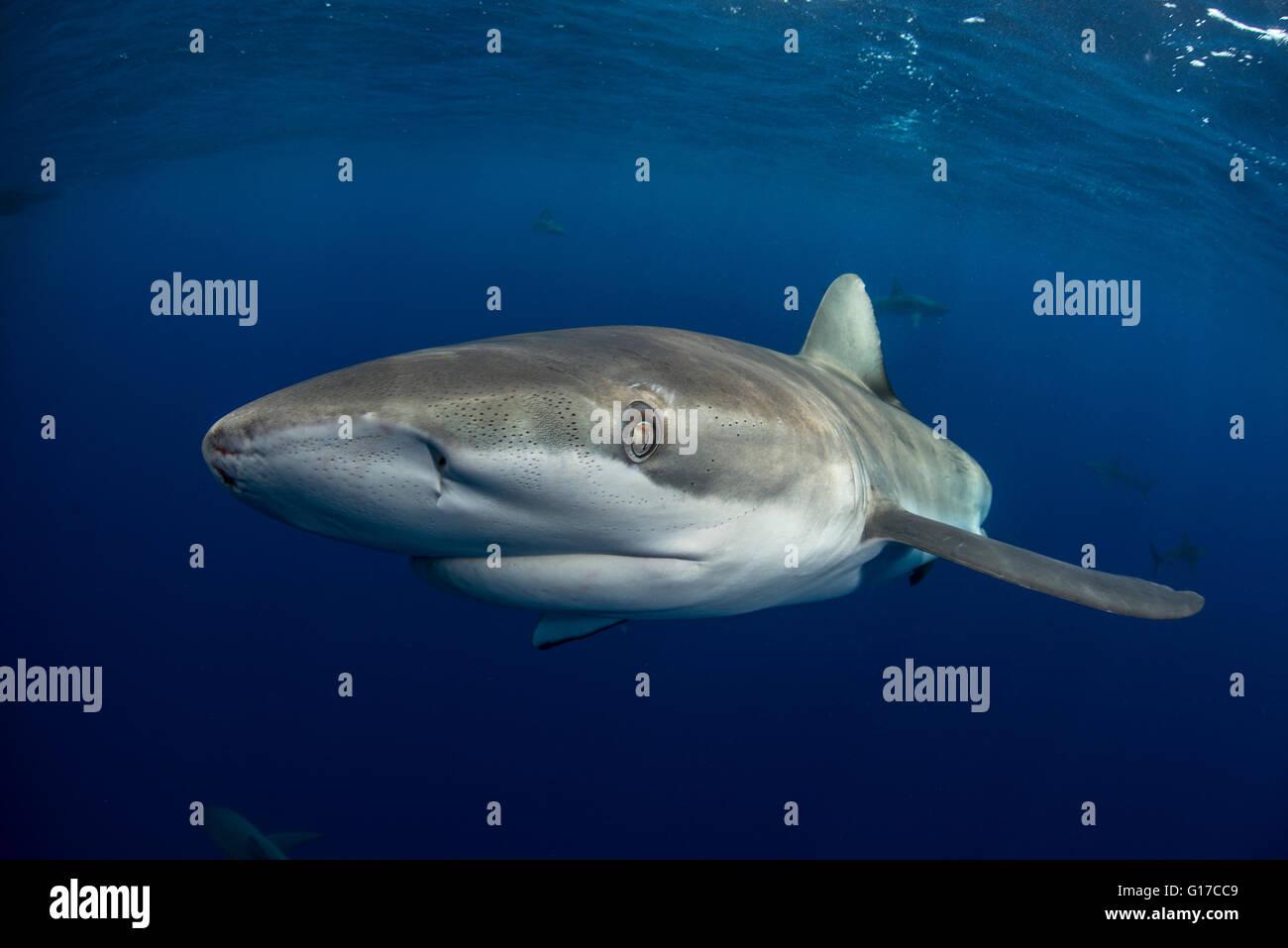 Underwater view of galapagos shark (carcharhinus galapagensis) looking at camera, Socorro, Revillagigedo, Colima, - Stock Image