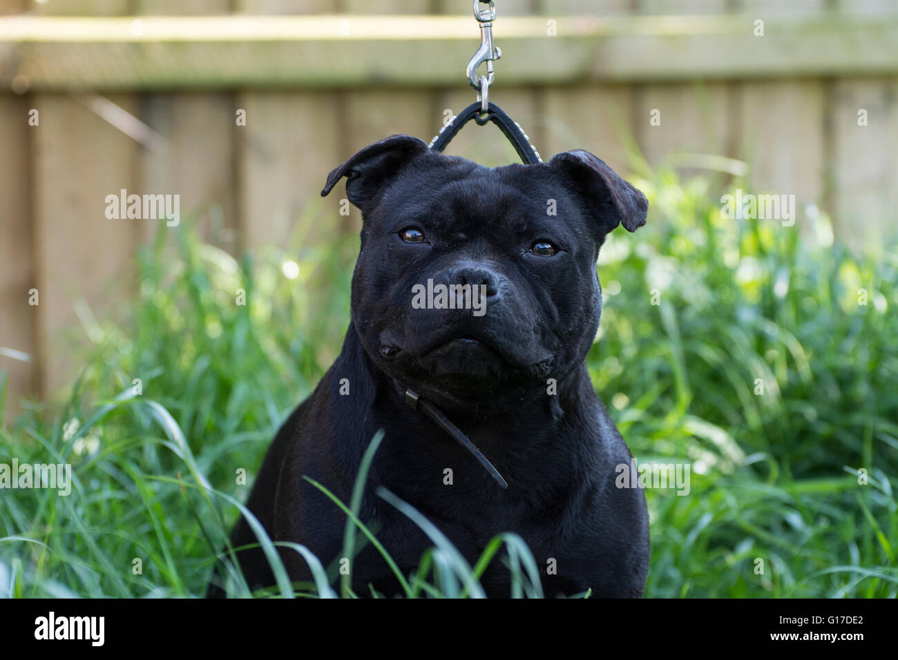 A Staffordshire Bull Terrier in a show pose. - Stock Image