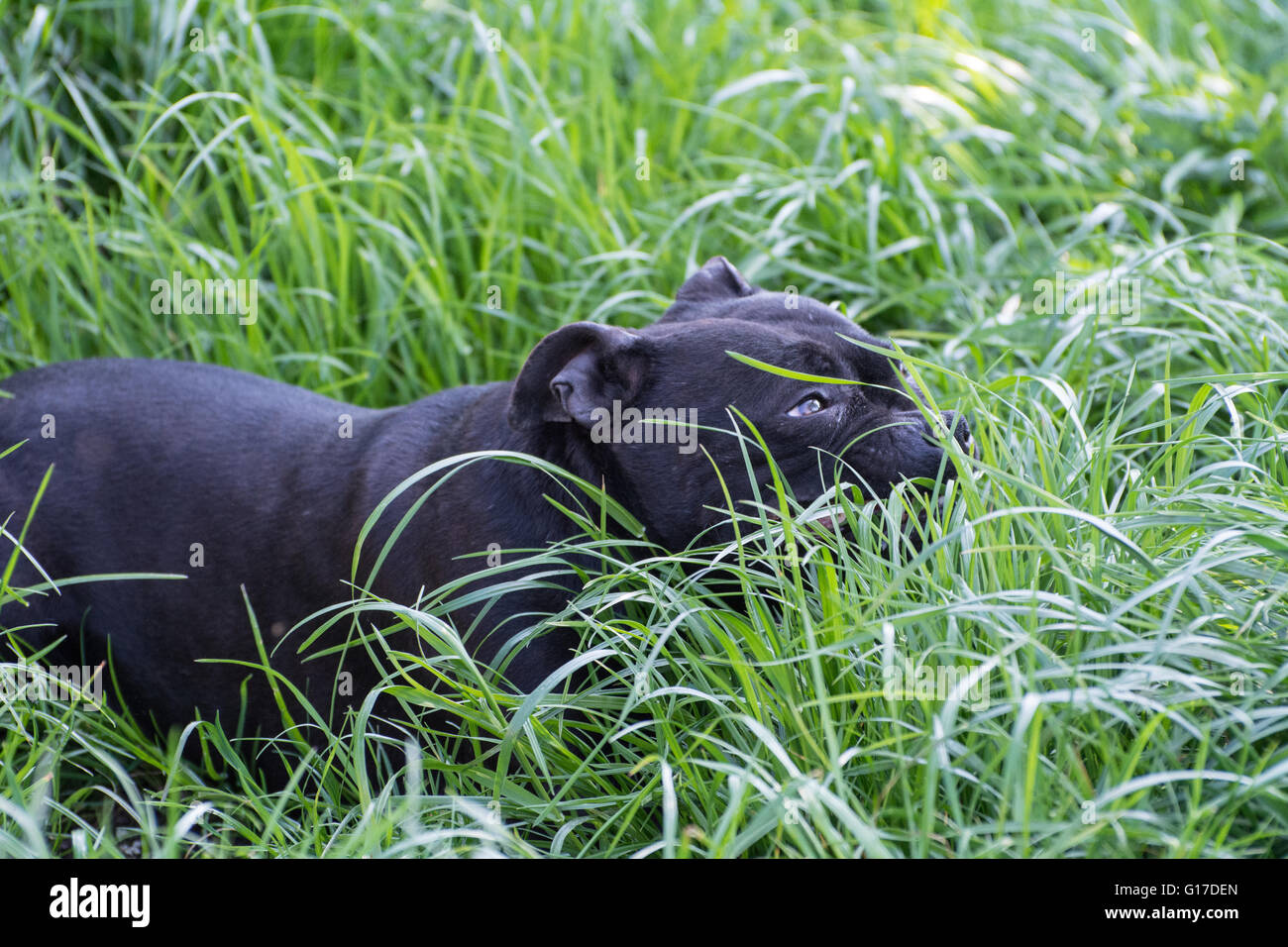 A Staffordshire Bull Terrier laying in the grass. - Stock Image