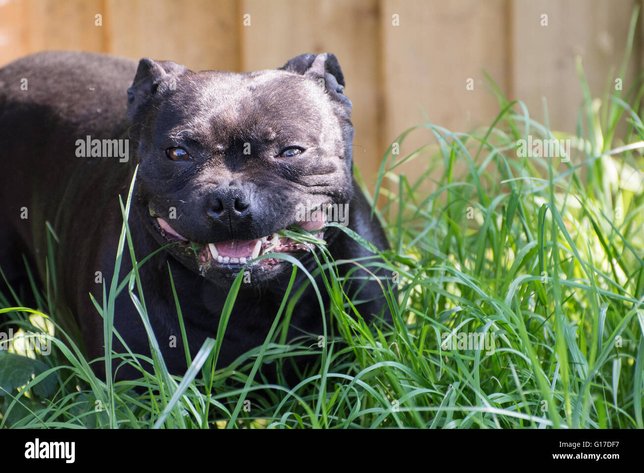 A Staffordshire Bull Terrier eating grass. - Stock Image