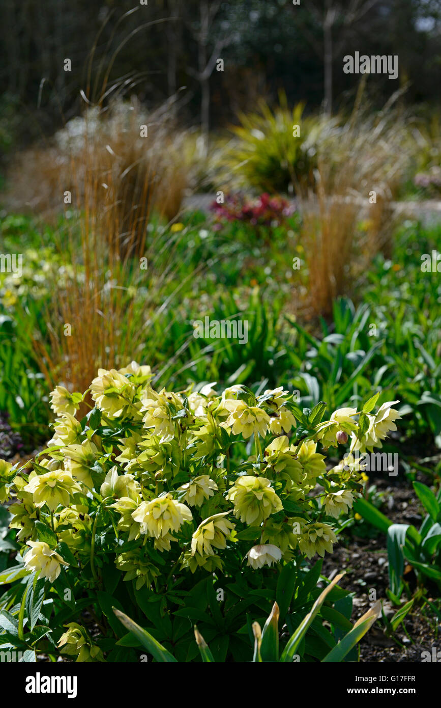hellebores alliums tulips daffodils mix mixed bed flowerbed spring display flowers flowering bloom blooming blossom - Stock Image