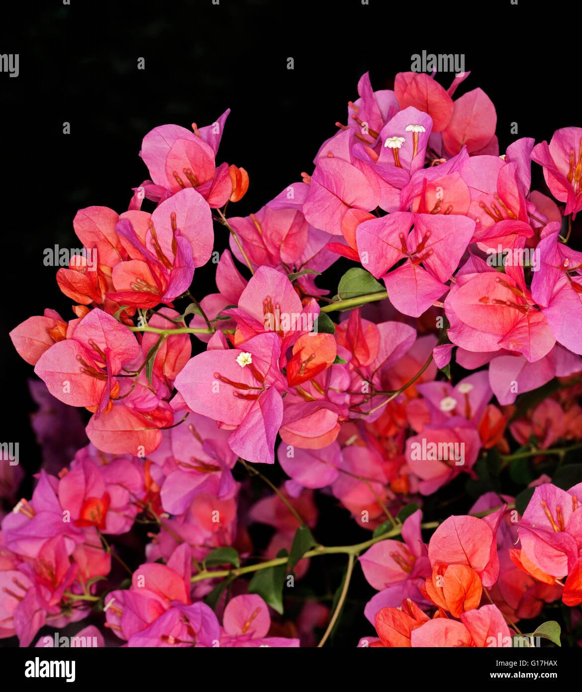 Cluster Of Spectacular Vivid Pink Orange Flowers Of Bougainvillea