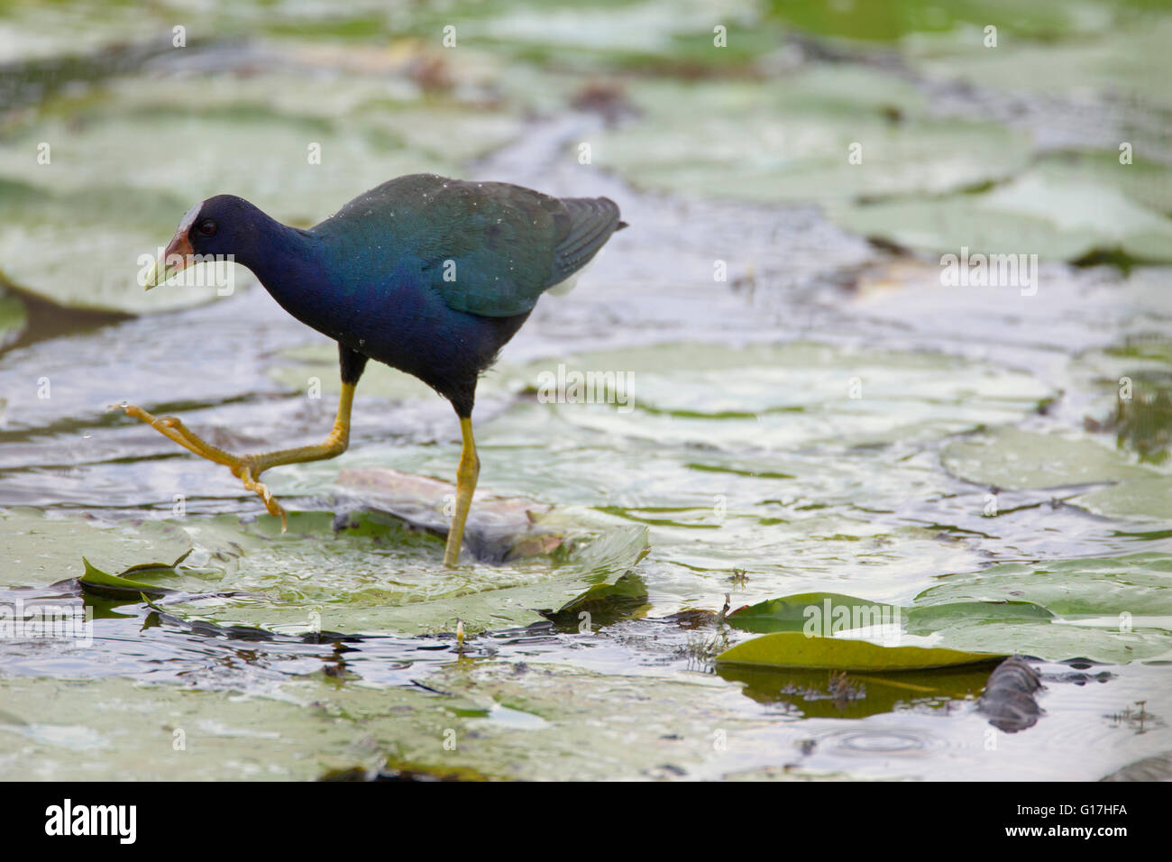 A purple gallinule (Porphyrula martinica) walks on a lily pad with its left foot and steps out with its right at - Stock Image