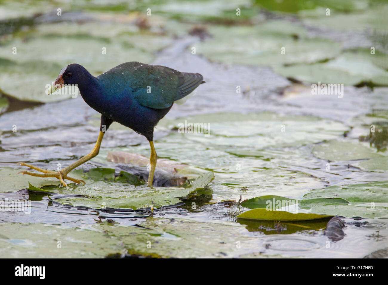 A purple gallinule (Porphyrio martinica) walks on a lily pad with its left foot and steps out with its right at - Stock Image