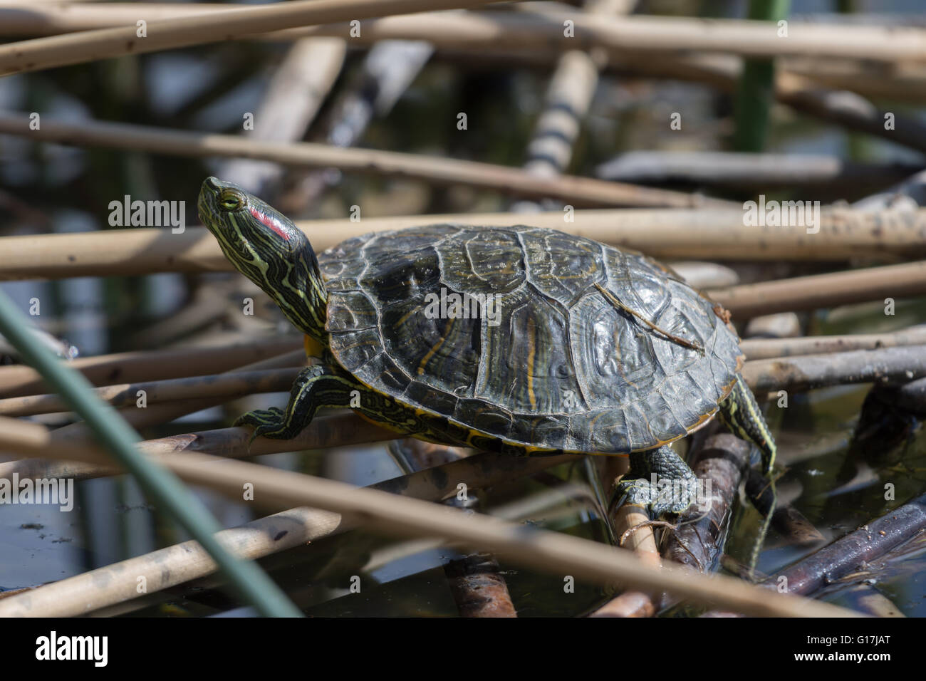 Juvenile Red-eared Slider, (Trachemys scripta elegans), Wildlife Management Ponds at Tingley Beach, Albuquerque, - Stock Image
