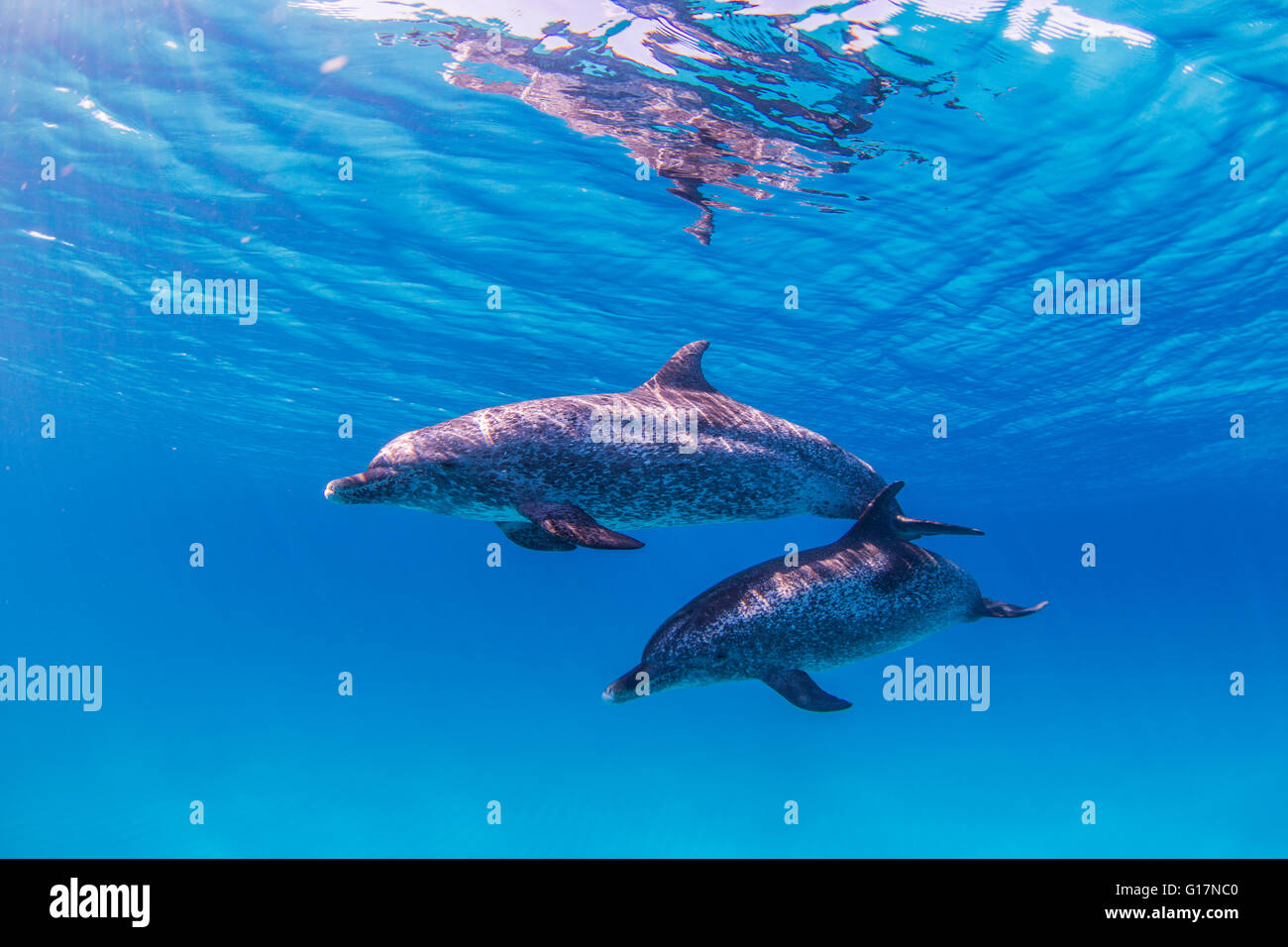 Atlantic Spotted Dolphins swimming near surface of ocean Stock Photo